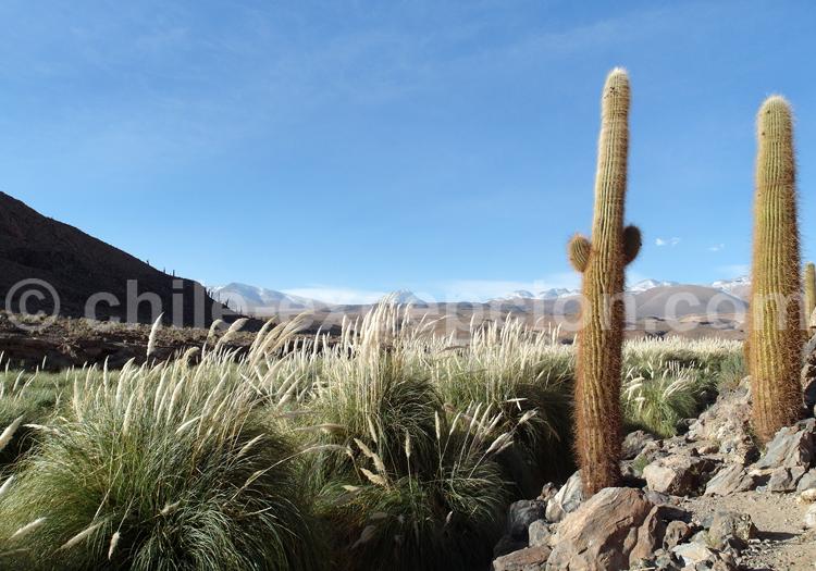 Chardons de l'altiplano chilien