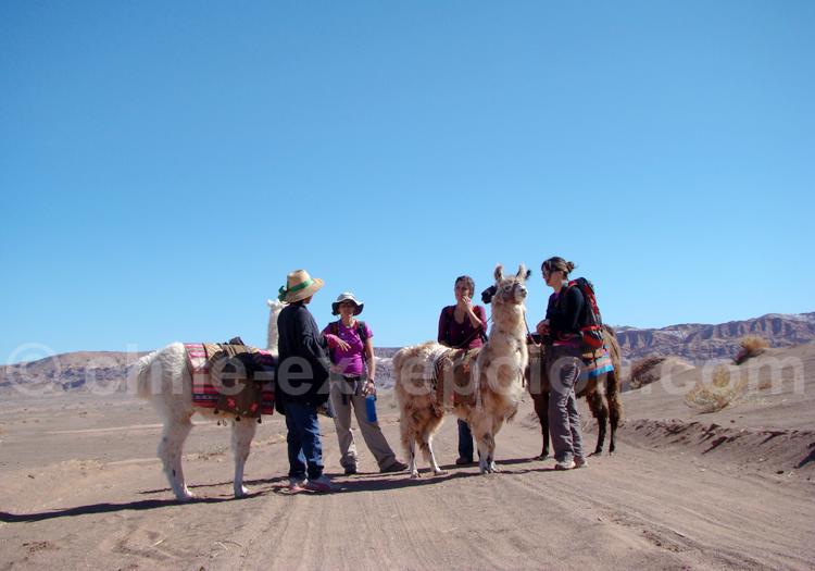 Lamas d'Atacama