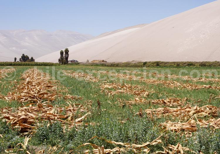 Champs de maïs, Lluta, Chili