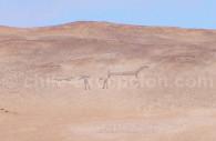 Lamas, Vallée de Lluta, Chili