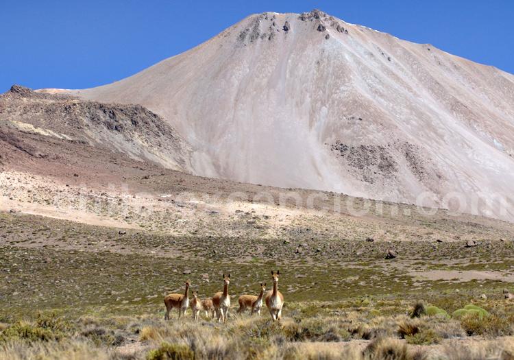 Vigognes, Arica et Parinacota