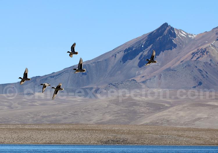 Canards sauvages, Lac Chungara, Chili