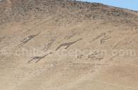 Lamas, Cerro Sombrero