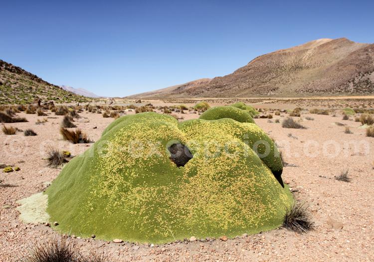 Végétation Suriplaza, Nord du Chili