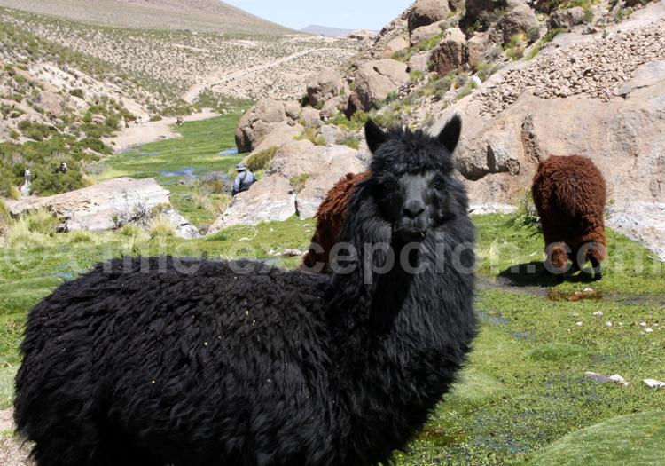 Lama, Chili