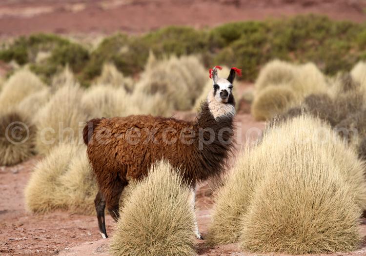 Faune terrestre de l'Altiplano bolivien