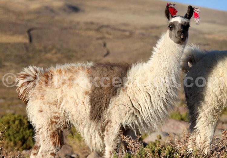 Caravane de Lamas