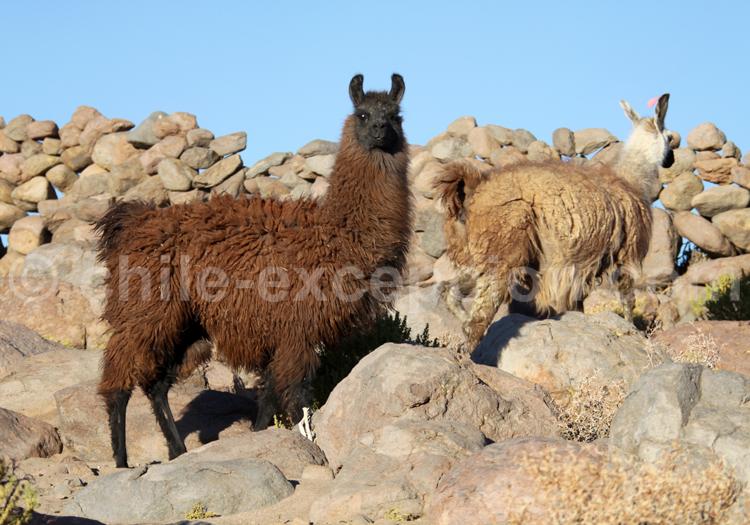 Lamas du Pérou