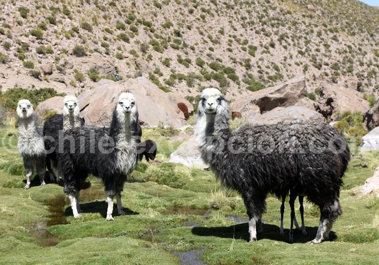 Troupeau de lamas, Bolivie