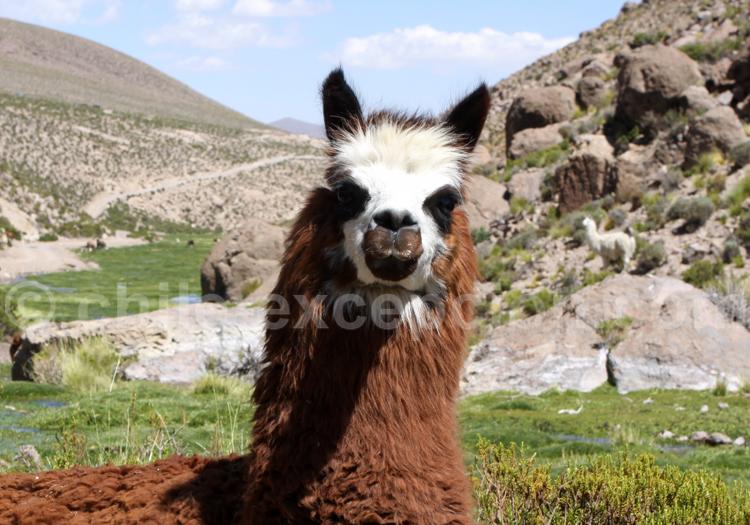 Lama domestiqué, Chili