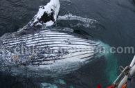 Mammifère marin de Patagonie