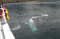 Baleine, détroit de Magellan