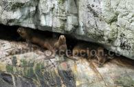 Lions de mer, Patagonie
