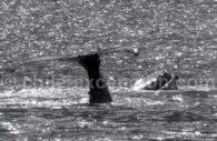 Ballet aquatique, baleine à bosse