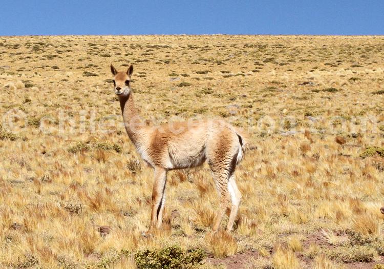 Vigogne, Atacama, Chili