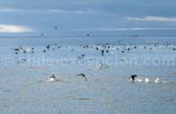 Oiseaux marins du Chili