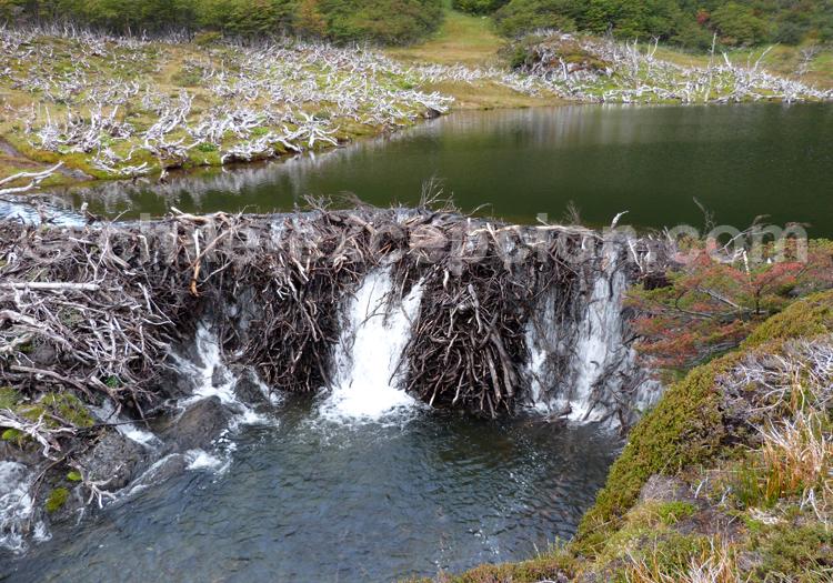 Castors, Patagonie australe