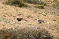 Faune aviaire, Chili