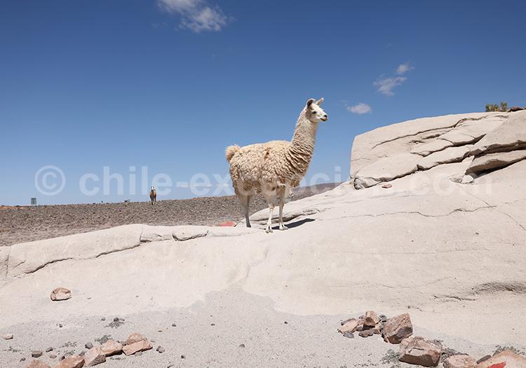 Lamas, alentours de San Pedro de Atacama
