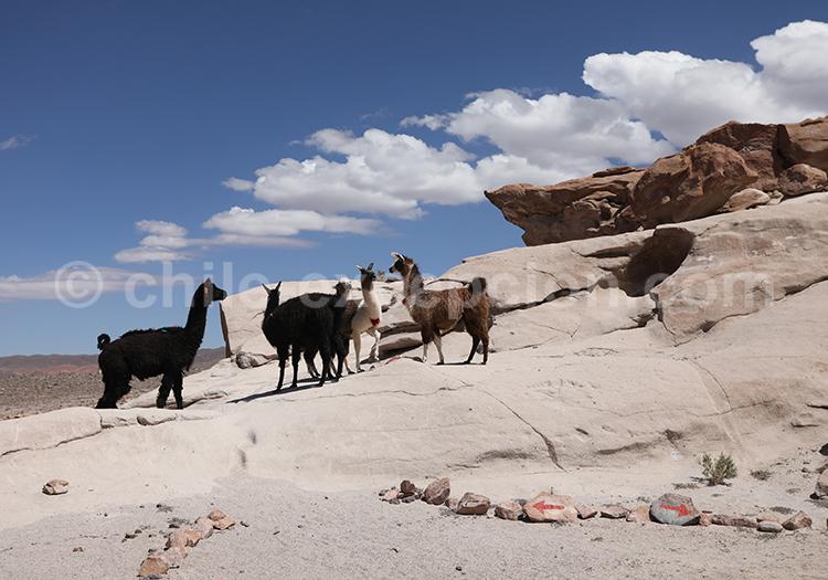 Lamas, Nord du Chili