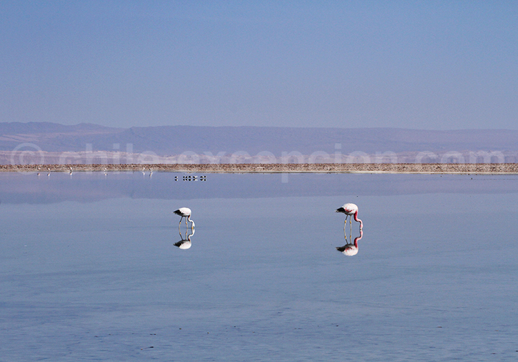 Laguna Chaxa, Flamant de James