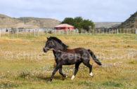 Cheval criollo, Patagonie