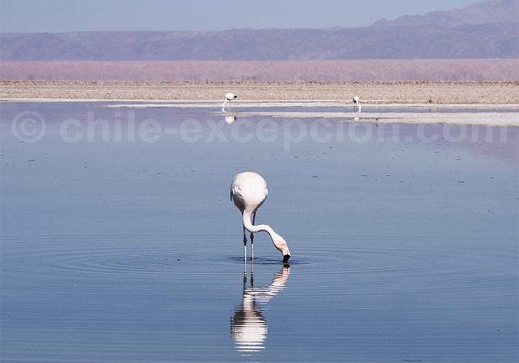 Safari photographique, Laguna Chaxa, San Pedro de Atacama
