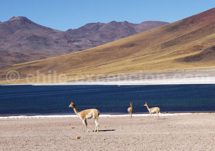 Vicuñas, Chili
