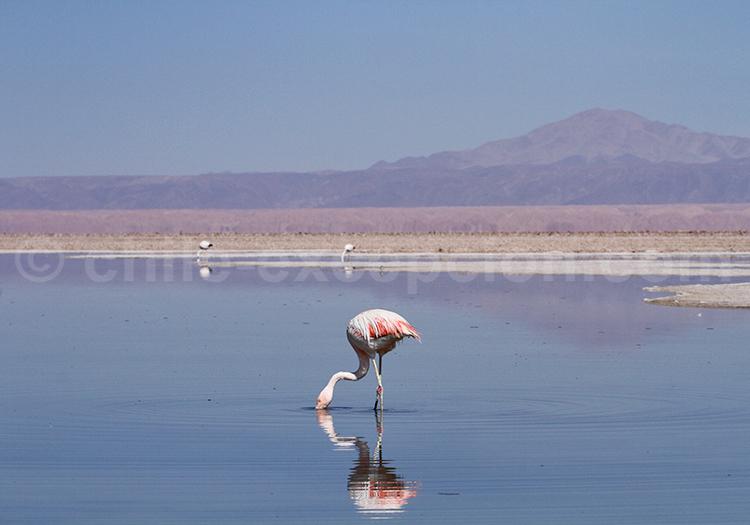 Faune aviaire autour de San Pedro de Atacama