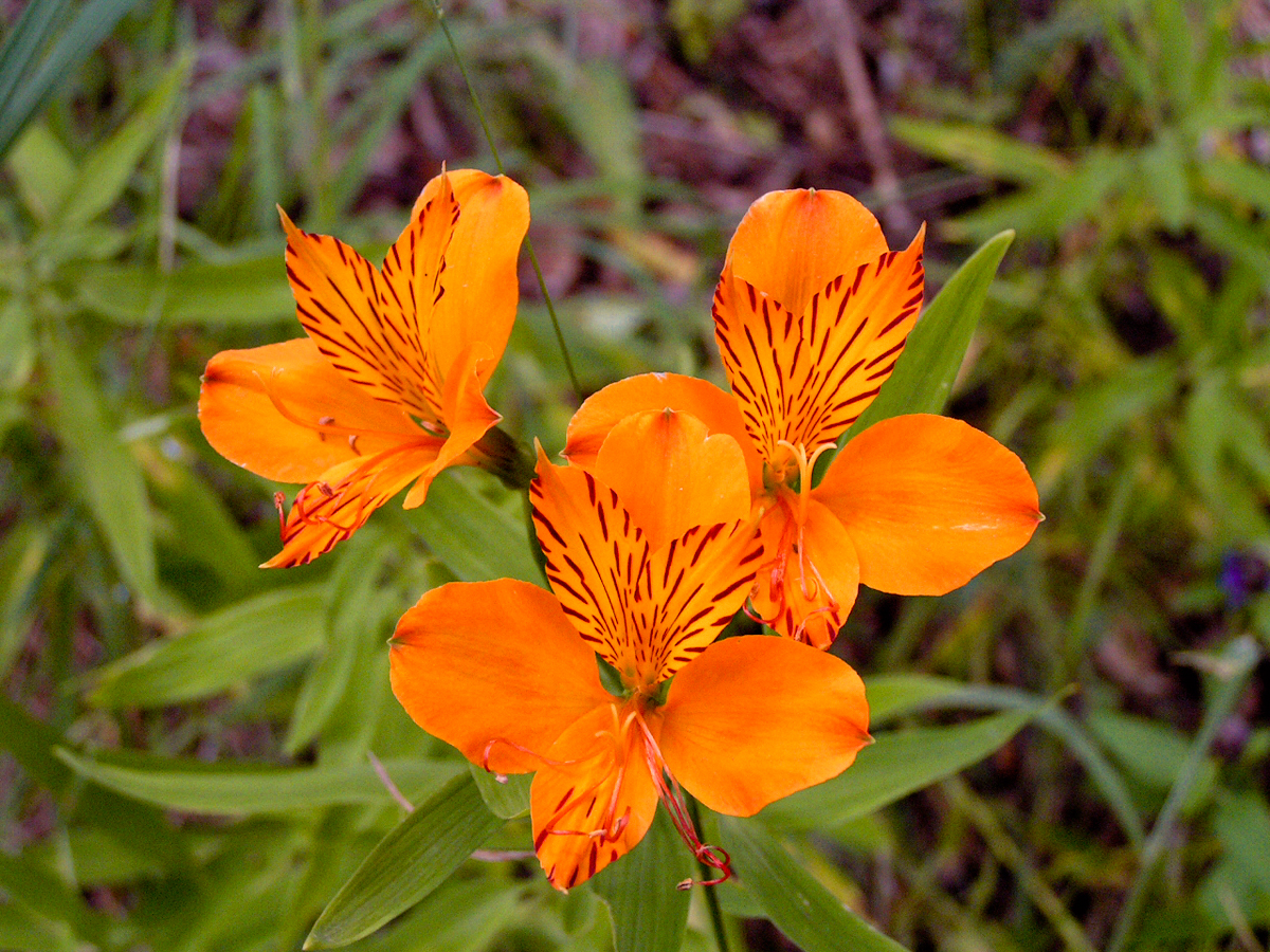 Flore du Chili