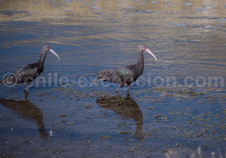 Faune aviaire de l'Altiplano