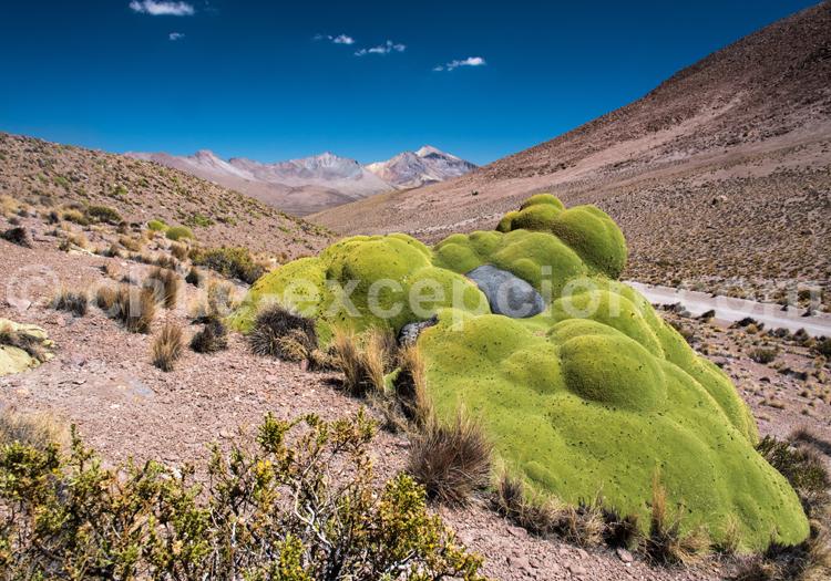 Végétation de l'Altiplano