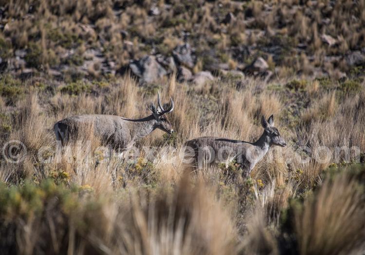 Cerfs des Andes
