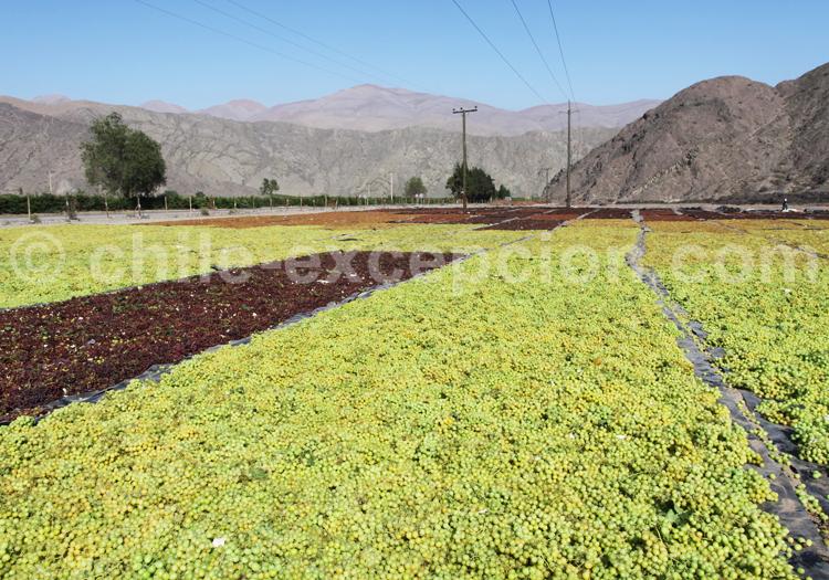Récolte du raisin, Chili