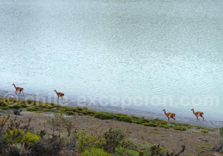 Guanacos, Lago Argentino