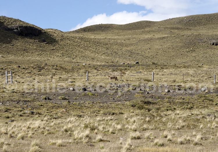 Puma, Patagonie