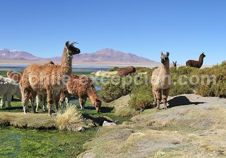 Animaux des Andes, Salar de Tara