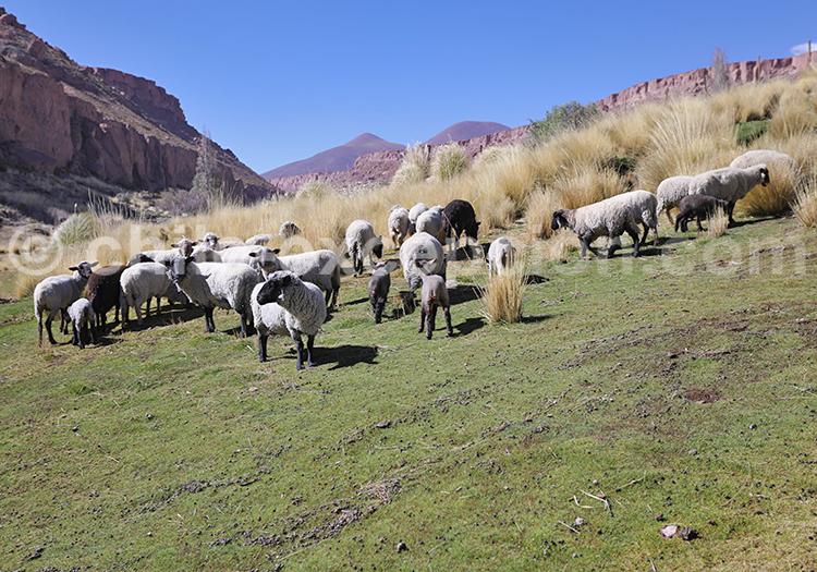 Caspana, village d'élevage, Chili