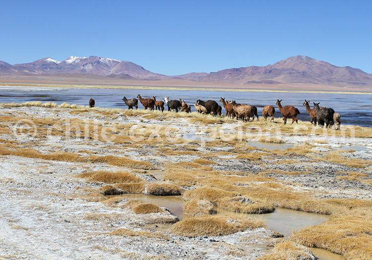 Troupeau de lamas, Salar de Tara