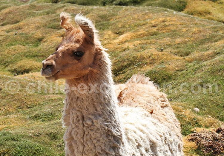 Lama, Machuca, Chili