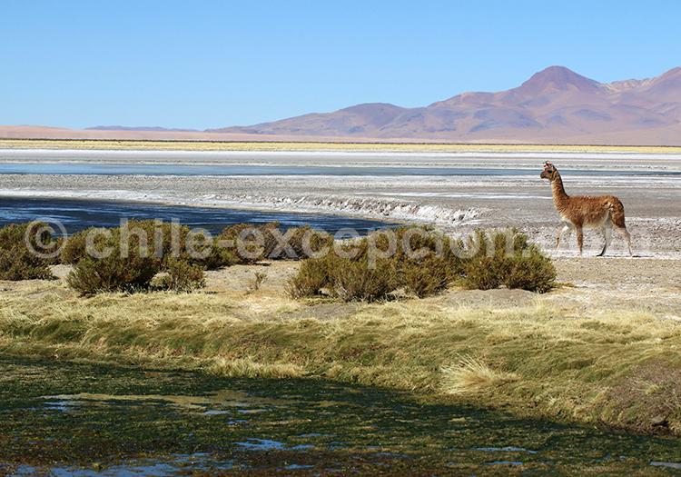 Altiplano chilien, Salar de Tara