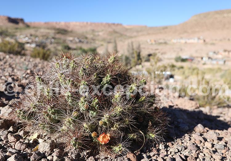 Cactus du désert, Nord du Chili