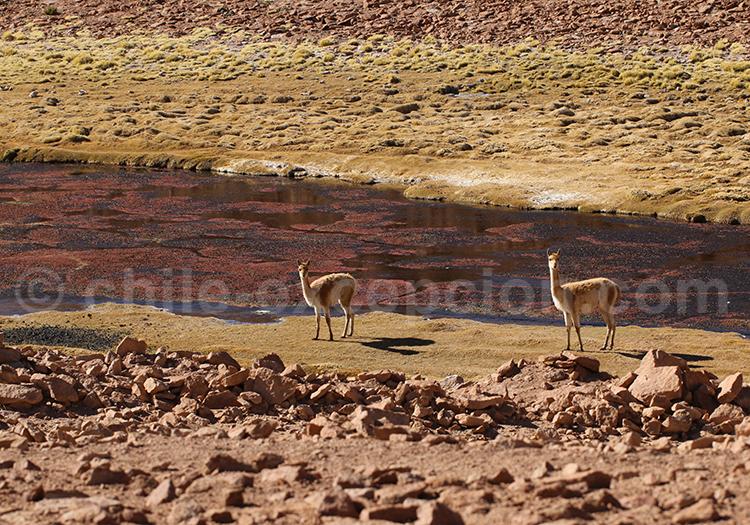 Safari animalier, désert d'Atacama, Chili