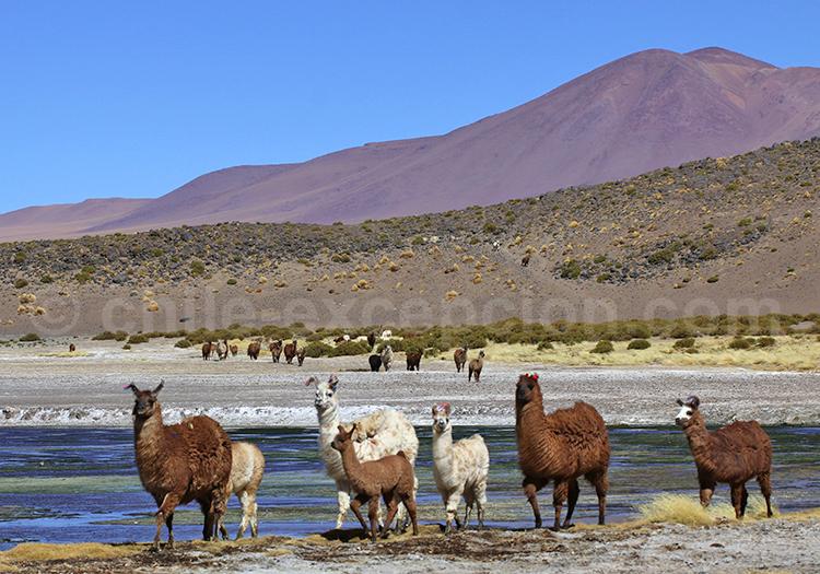 Lamas, Réserve nationale Los Flamencos