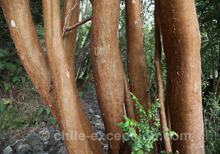 Troncs d'arbre du Chili avec l'agence de voyage Chile Excepción