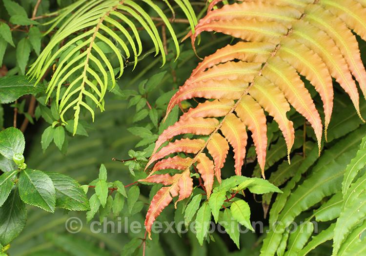 Plante et fougère du Chili avec l'agence de voyage Chile Excepción