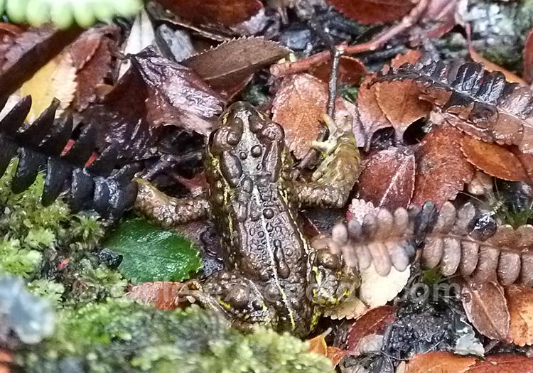 Petite grenouille du Chili avec l'agence de voyage Chile Excepción