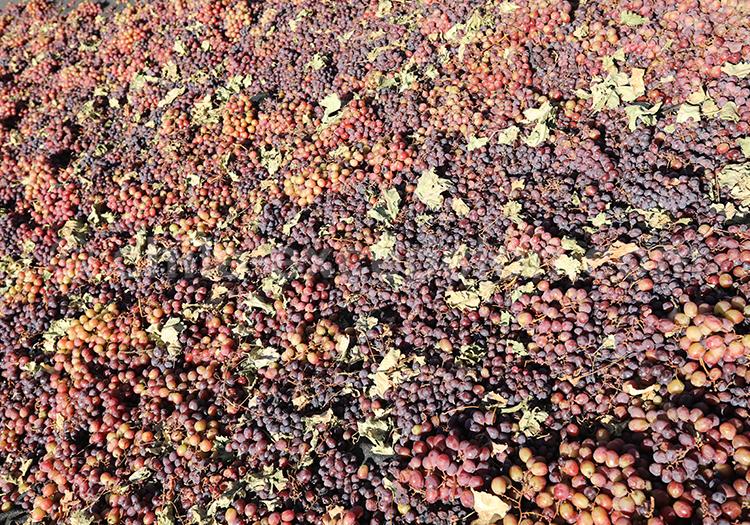 Les vendanges, raisins du Chili