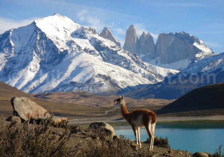 Guanaco dans le Parc Torres del Paine