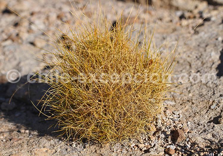 Stipa Ichu, nature du désert d'Atacama